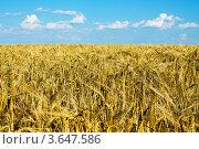 Колосья пшеницы. Стоковое фото, фотограф Андрей Корж / Фотобанк Лори
