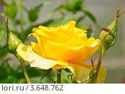Купить «Желтая роза (rosa)», эксклюзивное фото № 3648762, снято 19 июня 2012 г. (c) Алёшина Оксана / Фотобанк Лори