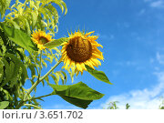 Купить «Подсолнух на фоне неба и зелени», фото № 3651702, снято 30 июня 2012 г. (c) Юлия Ухина / Фотобанк Лори