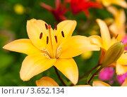 Купить «Желтая лилия», фото № 3652134, снято 7 июля 2012 г. (c) Екатерина Овсянникова / Фотобанк Лори
