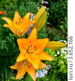 Купить «Желтые лилии», фото № 3652166, снято 7 июля 2012 г. (c) Екатерина Овсянникова / Фотобанк Лори