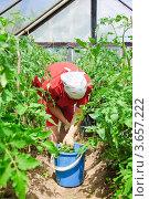 Купить «Женщина убирает помидорную ботву в парнике», эксклюзивное фото № 3657222, снято 20 июня 2012 г. (c) Алёшина Оксана / Фотобанк Лори