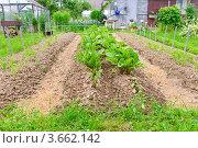 Купить «Грядки с овощами на приусадебном участке», эксклюзивное фото № 3662142, снято 23 июня 2012 г. (c) Алёшина Оксана / Фотобанк Лори
