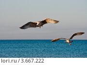 Чайки на фоне неба и моря. Стоковое фото, фотограф Алексей Литягов / Фотобанк Лори