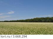 Гречишное поле в окрестностях г. Бузулука оренбургской области. Стоковое фото, фотограф Алексей Сахаров / Фотобанк Лори