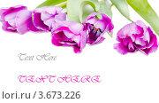 Сиреневые тюльпаны изолировано на белом фоне. Стоковое фото, фотограф Екатерина Усынина / Фотобанк Лори