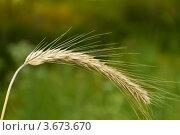 Колосок. Стоковое фото, фотограф Александр Бурштын / Фотобанк Лори