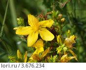 Купить «Цветок и бутоны зверобоя», фото № 3676234, снято 7 июля 2012 г. (c) Dmitry29 / Фотобанк Лори