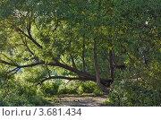 Купить «Кривое древо», фото № 3681434, снято 22 июня 2012 г. (c) Забалуев Игорь Анатолич / Фотобанк Лори