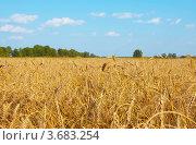 Пшеничное поле на и синее небо. Стоковое фото, фотограф Лариса Кривошапка / Фотобанк Лори