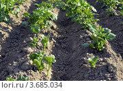 Молодые побеги картофеля. Стоковое фото, фотограф Бурова Ольга / Фотобанк Лори