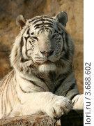 Купить «Белый тигр лежит на бревенчатом помосте (Бенгальский тигр, Panthera tigris tigris, var. Alba)», эксклюзивное фото № 3688602, снято 24 марта 2012 г. (c) Щеголева Ольга / Фотобанк Лори