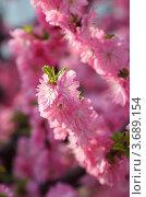 Купить «Розовые цветы сакуры ( Prunus serrulata ) цветут в лучах солнца весной. Малая глубина резкости.», фото № 3689154, снято 14 апреля 2011 г. (c) Ольга Липунова / Фотобанк Лори