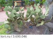 Купить «Кактус опунция Шеера (Opuntia scheeri). Ботанический сад г. Лион, Франция.», фото № 3690046, снято 12 июля 2012 г. (c) Иван Марчук / Фотобанк Лори