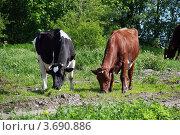Коровы. Стоковое фото, фотограф Вячеслав Яковлев / Фотобанк Лори