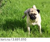 Собака породы Мопс. Стоковое фото, фотограф ElenArt / Фотобанк Лори