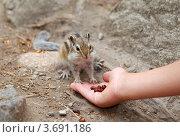 Купить «Сибирский бурундук, Азиатский бурундук (Tamias sibiricus)», фото № 3691186, снято 29 июня 2012 г. (c) Некрасов Андрей / Фотобанк Лори
