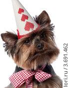 Купить «Йоркширский терьер в праздничном колпаке», фото № 3691462, снято 2 июня 2020 г. (c) Marina Appel / Фотобанк Лори
