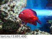 Купить «Групер красный коралловый (Cephalopholis miniata, Coral hind, Red coral grouper, Coral trout, Coral rock cod))», эксклюзивное фото № 3691490, снято 24 марта 2012 г. (c) Щеголева Ольга / Фотобанк Лори