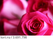 Купить «Розовые розы крупным планом», фото № 3691798, снято 3 апреля 2009 г. (c) Иван Михайлов / Фотобанк Лори
