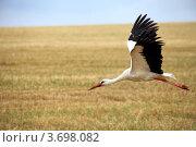 Купить «Летящий над полем аист», фото № 3698082, снято 16 июня 2019 г. (c) Юлия Кузнецова / Фотобанк Лори