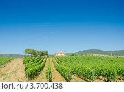 Купить «Виноградник летом под синим небом», фото № 3700438, снято 4 февраля 2010 г. (c) Elnur / Фотобанк Лори