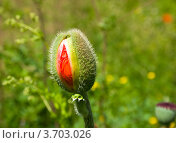 Бутон мака летом в поле крупным планом. Стоковое фото, фотограф Константин Примачук / Фотобанк Лори
