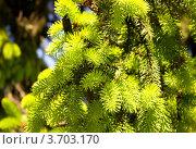 Ветви сосны крупным планом. Стоковое фото, фотограф Константин Примачук / Фотобанк Лори