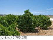 Апельсиновая плантация с недозревшими апельсинами в Португалии (2010 год). Стоковое фото, фотограф Дмитрий Девин / Фотобанк Лори