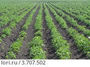 Картофельное поле. Стоковое фото, фотограф Воробьев Валерий / Фотобанк Лори