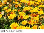 Крупные цветы Газании ( Gazania rigens) Стоковое фото, фотограф Татьяна Кахилл / Фотобанк Лори