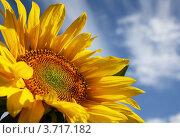 Подсолнух. Стоковое фото, фотограф Яблонских Татьяна / Фотобанк Лори
