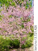 Купить «Церцис канадский, Cercis Canadensis», фото № 3721426, снято 1 мая 2012 г. (c) ИВА Афонская / Фотобанк Лори