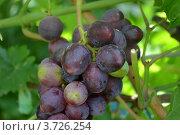 Ягоды синего винограда. Стоковое фото, фотограф Юлия Науменко / Фотобанк Лори