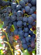 Кисть синего винограда. Стоковое фото, фотограф Юлия Науменко / Фотобанк Лори