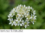 Цветки лука. Стоковое фото, фотограф Юлия Науменко / Фотобанк Лори