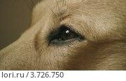 Купить «Собака мигает», видеоролик № 3726750, снято 19 февраля 2010 г. (c) Egorius / Фотобанк Лори