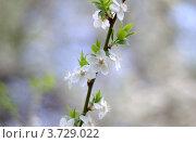 Цветение яблони. Стоковое фото, фотограф Александр Довянский / Фотобанк Лори