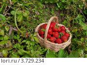 Купить «Клубника в корзине посреди земляничной поляны», фото № 3729234, снято 8 июля 2012 г. (c) Андрей Небукин / Фотобанк Лори