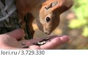 Купить «Белка ест семечки из ладони человека», видеоролик № 3729330, снято 6 апреля 2011 г. (c) Losevsky Pavel / Фотобанк Лори