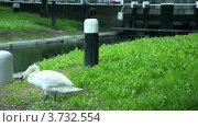 Купить «Лебеди и их птенцы идут к берегу реки», видеоролик № 3732554, снято 28 ноября 2010 г. (c) Losevsky Pavel / Фотобанк Лори
