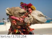 Африканский верблюд в нарядной уздечке крупным планом. Стоковое фото, фотограф Александр Лопарев / Фотобанк Лори