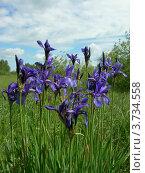 Купить «Дикие ирисы», фото № 3734558, снято 13 июня 2007 г. (c) FieryLion / Фотобанк Лори