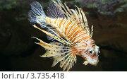 Купить «Рыба-лев в аквариуме», видеоролик № 3735418, снято 10 августа 2012 г. (c) Михаил Коханчиков / Фотобанк Лори