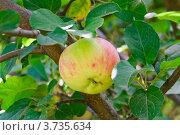 Купить «Яблоко на ветке в тени», эксклюзивное фото № 3735634, снято 29 июля 2012 г. (c) Алёшина Оксана / Фотобанк Лори
