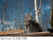 Купить «Серый кот», фото № 3738190, снято 8 мая 2011 г. (c) Сурикова Ирина / Фотобанк Лори