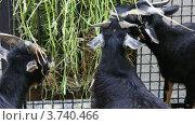 Купить «Черные козы едят траву», видеоролик № 3740466, снято 31 июля 2011 г. (c) Losevsky Pavel / Фотобанк Лори