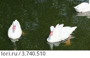 Купить «Три белых лебедя в пруду», видеоролик № 3740510, снято 31 июля 2011 г. (c) Losevsky Pavel / Фотобанк Лори
