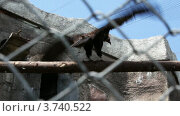Купить «Стервятник в клетке в зоопарке размахивает крыльями, чтобы взлететь», видеоролик № 3740522, снято 18 августа 2011 г. (c) Losevsky Pavel / Фотобанк Лори