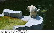 Купить «Один полярный медведь плавает и другой ходит по платформе недалеко от озера», видеоролик № 3740734, снято 3 августа 2011 г. (c) Losevsky Pavel / Фотобанк Лори